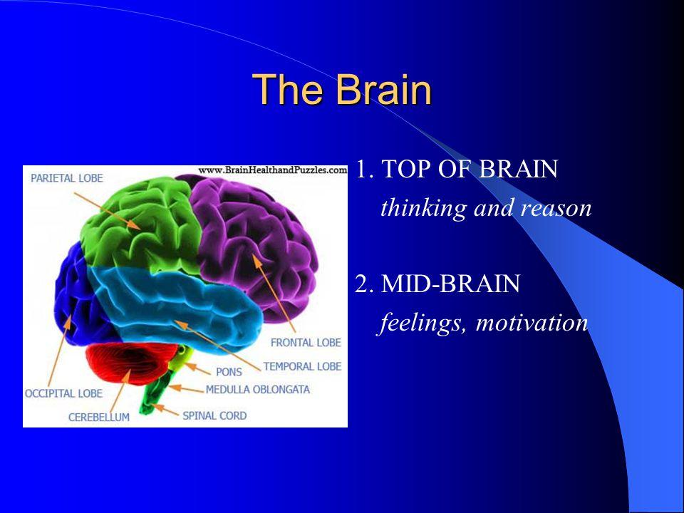 The Brain 1.TOP OF BRAIN thinking and reason 2. MID-BRAIN feelings, motivation 3.