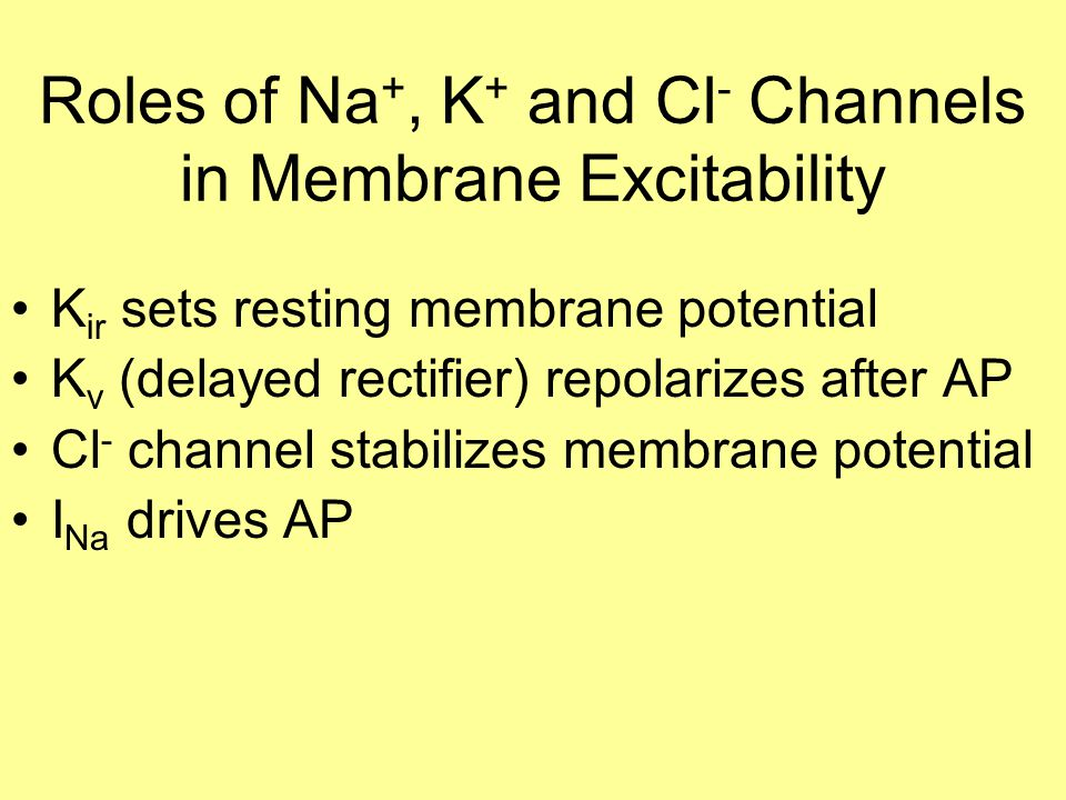 Roles of Na +, K + and Cl - Channels in Membrane Excitability K ir sets resting membrane potential K v (delayed rectifier) repolarizes after AP Cl - channel stabilizes membrane potential I Na drives AP