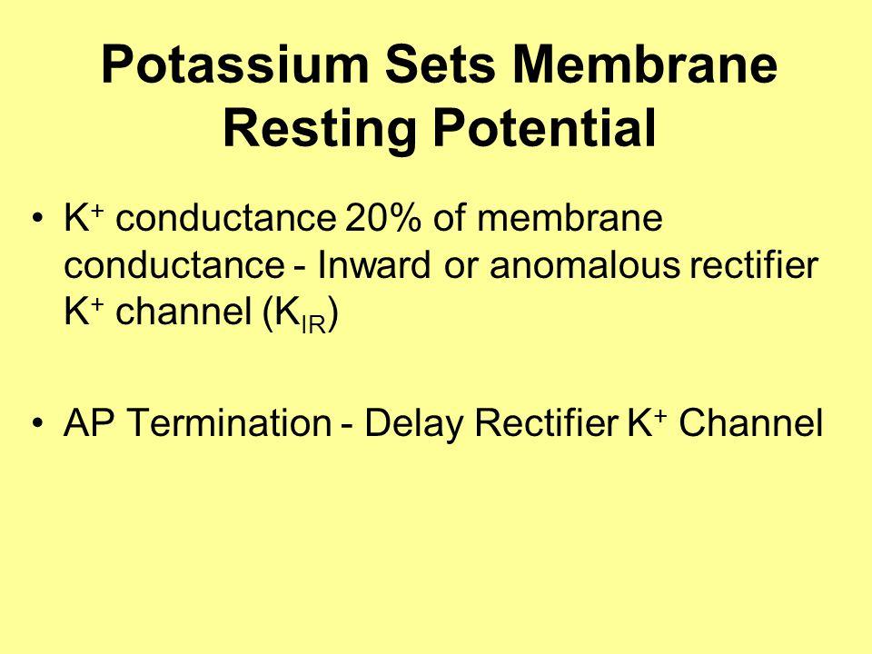 Potassium Sets Membrane Resting Potential K + conductance 20% of membrane conductance - Inward or anomalous rectifier K + channel (K IR ) AP Termination - Delay Rectifier K + Channel