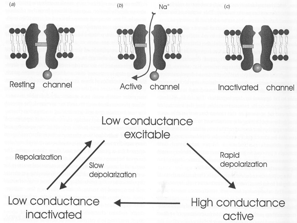 Comparison of Na + Channel Properties and Action Potential (AP) Thresholds in Fast Twitch, Type IIb, Skeletal Muscle Fibers from Five Patients with HypoKPP and Seven Controls.