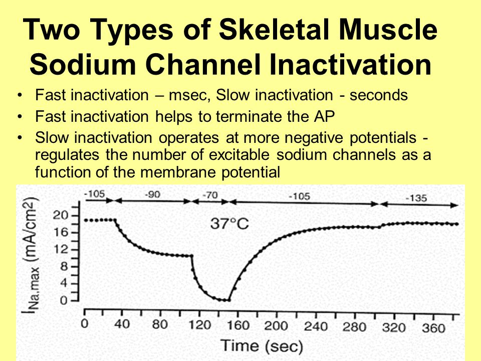 Skeletal Muscle Membrane Excitability Is Impaired in HypoKPP (Type1) Muscle fibers very susceptible to depolarization-induced inexcitable Small depolarizations (10 mV) make HypoKPP fibers unexcitable Slow conduction velocity (Zwarts' lab) suggests impaired Na + channel function in HypoKPP