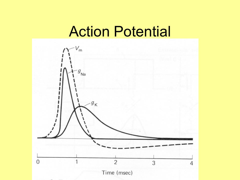 Factors Determining Action Potential Threshold Number of excitable Na + channels (# of channels and fraction that are excitable) Voltage dependence of Na + channel opening Amount of Cl - conductance Inward rectifier K + conductance with depolarization