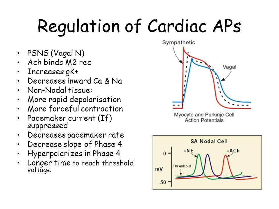 Regulation of Cardiac APs PSNS (Vagal N) Ach binds M2 rec Increases gK+ Decreases inward Ca & Na Non-Nodal tissue: More rapid depolarisation More forc