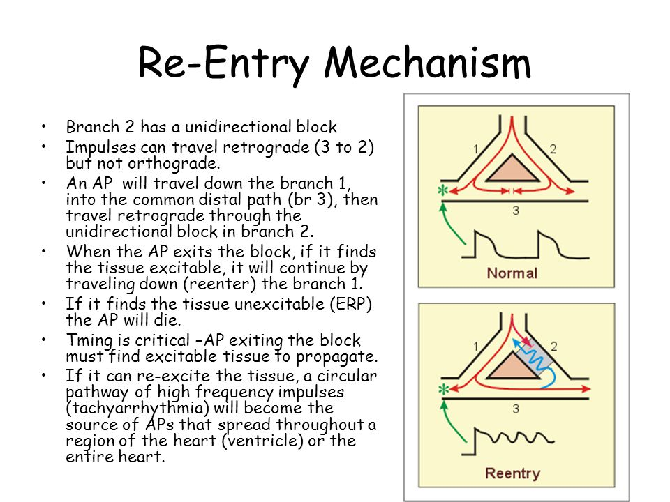 Re-Entry Mechanism Branch 2 has a unidirectional block Impulses can travel retrograde (3 to 2) but not orthograde. An AP will travel down the branch 1