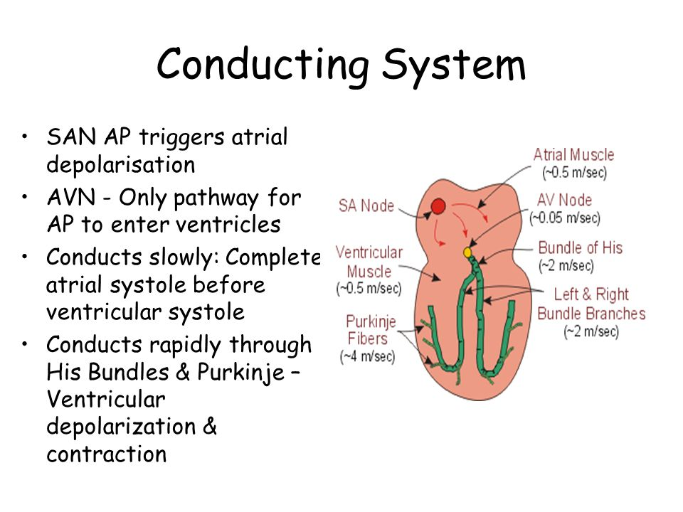 Conducting System SAN AP triggers atrial depolarisation AVN - Only pathway for AP to enter ventricles Conducts slowly: Complete atrial systole before