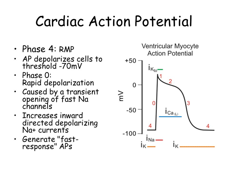 Cardiac Action Potential Phase 4: RMP AP depolarizes cells to threshold -70mV Phase 0: Rapid depolarization Caused by a transient opening of fast Na c