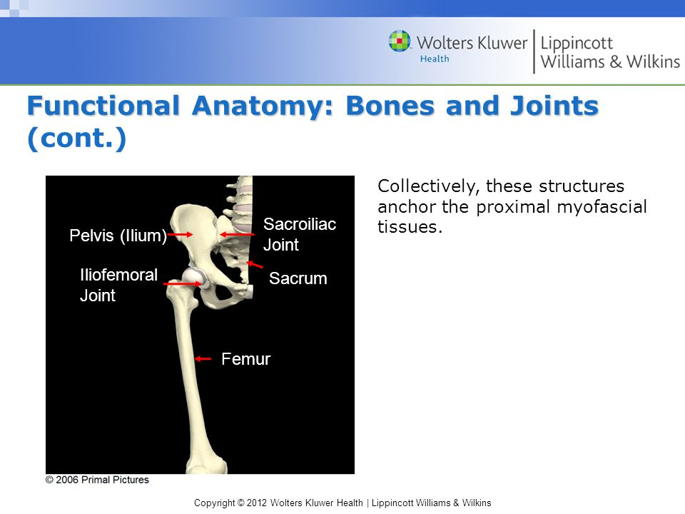 Copyright © 2012 Wolters Kluwer Health | Lippincott Williams & Wilkins Functional Anatomy: Bones and Joints Functional Anatomy: Bones and Joints (cont.) Iliofemoral Joint Sacroiliac Joint Femur Pelvis (Ilium) Sacrum Collectively, these structures anchor the proximal myofascial tissues.