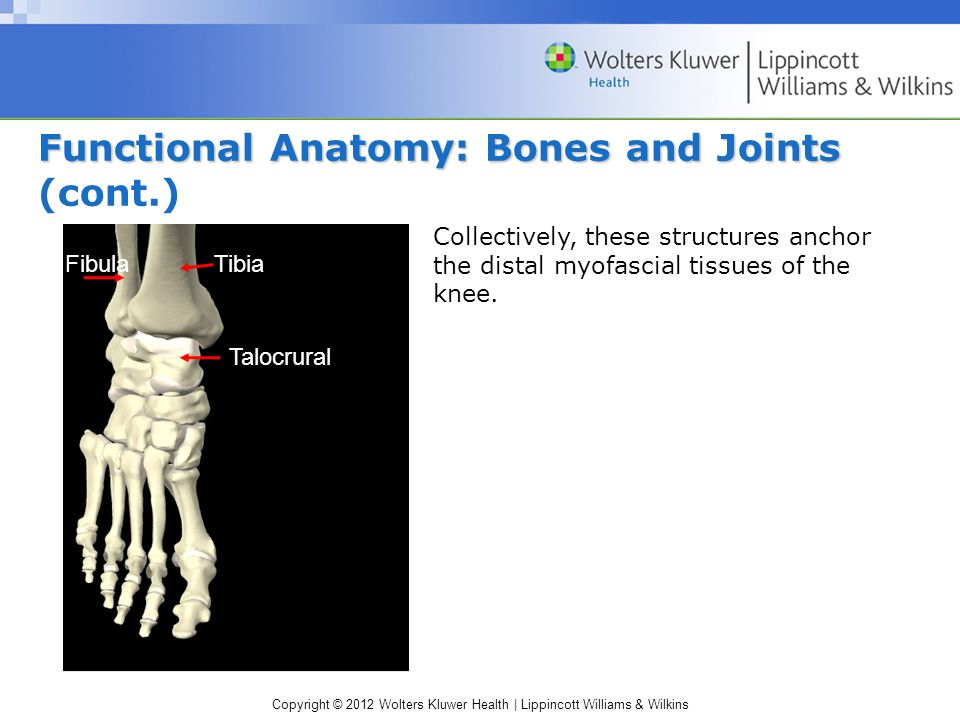 Copyright © 2012 Wolters Kluwer Health | Lippincott Williams & Wilkins Functional Anatomy: Bones and Joints Functional Anatomy: Bones and Joints (cont.) Talocrural TibiaFibula Collectively, these structures anchor the distal myofascial tissues of the knee.