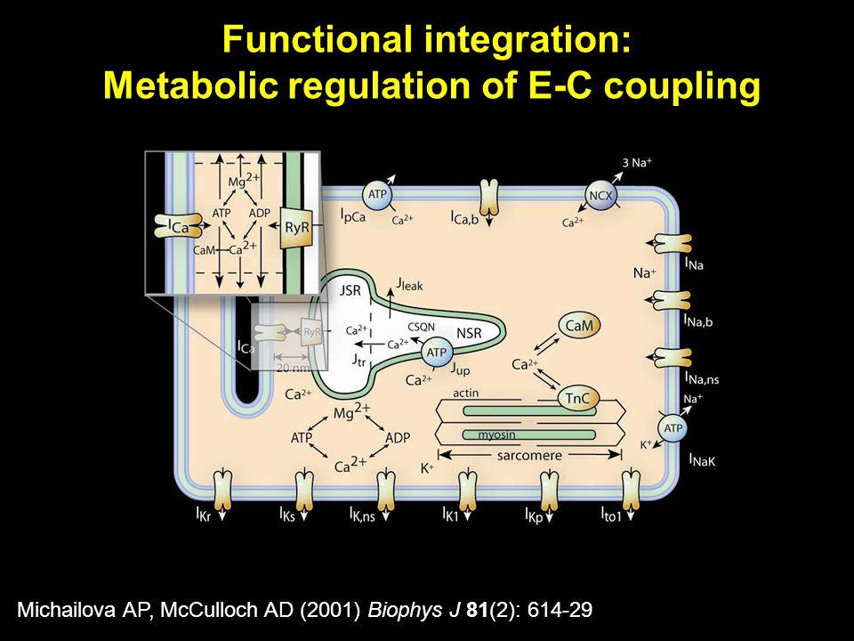 Michailova AP, McCulloch AD (2001) Biophys J 81(2): 614-29 Functional integration: Metabolic regulation of E-C coupling