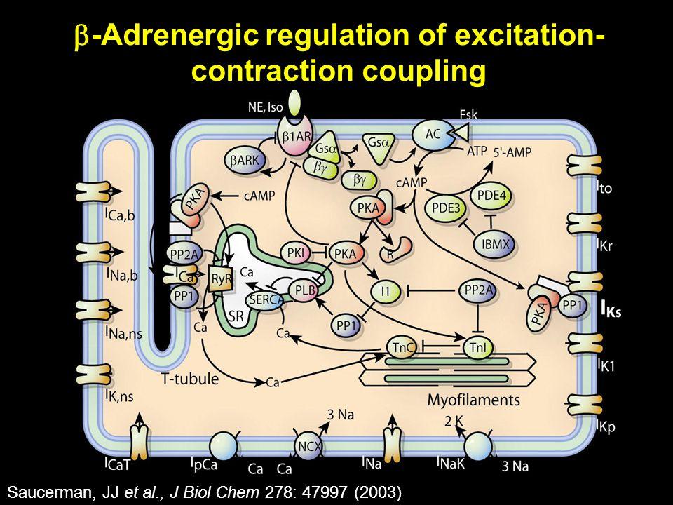 Saucerman, JJ et al., J Biol Chem 278: 47997 (2003)  -Adrenergic regulation of excitation- contraction coupling