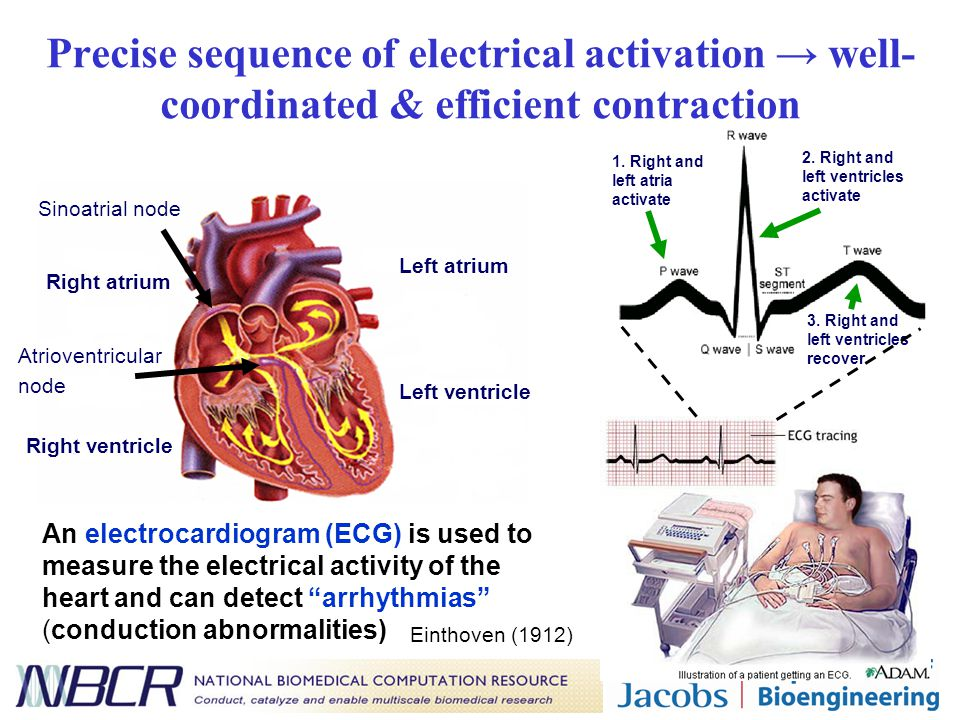 Precise sequence of electrical activation → well- coordinated & efficient contraction An electrocardiogram (ECG) is used to measure the electrical act