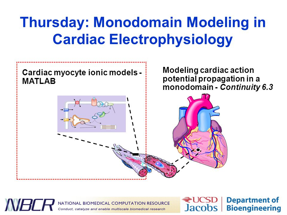 Thursday: Monodomain Modeling in Cardiac Electrophysiology Modeling cardiac action potential propagation in a monodomain - Continuity 6.3 Cardiac myocyte ionic models - MATLAB