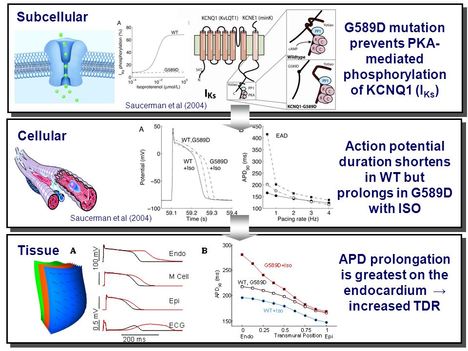 Subcellular Saucerman et al (2004) Cellular Saucerman et al (2004) Tissue G589D mutation prevents PKA- mediated phosphorylation of KCNQ1 (I Ks ) Action potential duration shortens in WT but prolongs in G589D with ISO APD prolongation is greatest on the endocardium → increased TDR