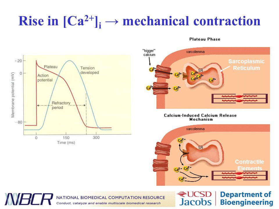 Rise in [Ca 2+ ] i → mechanical contraction Sarcoplasmic Reticulum Contractile Elements