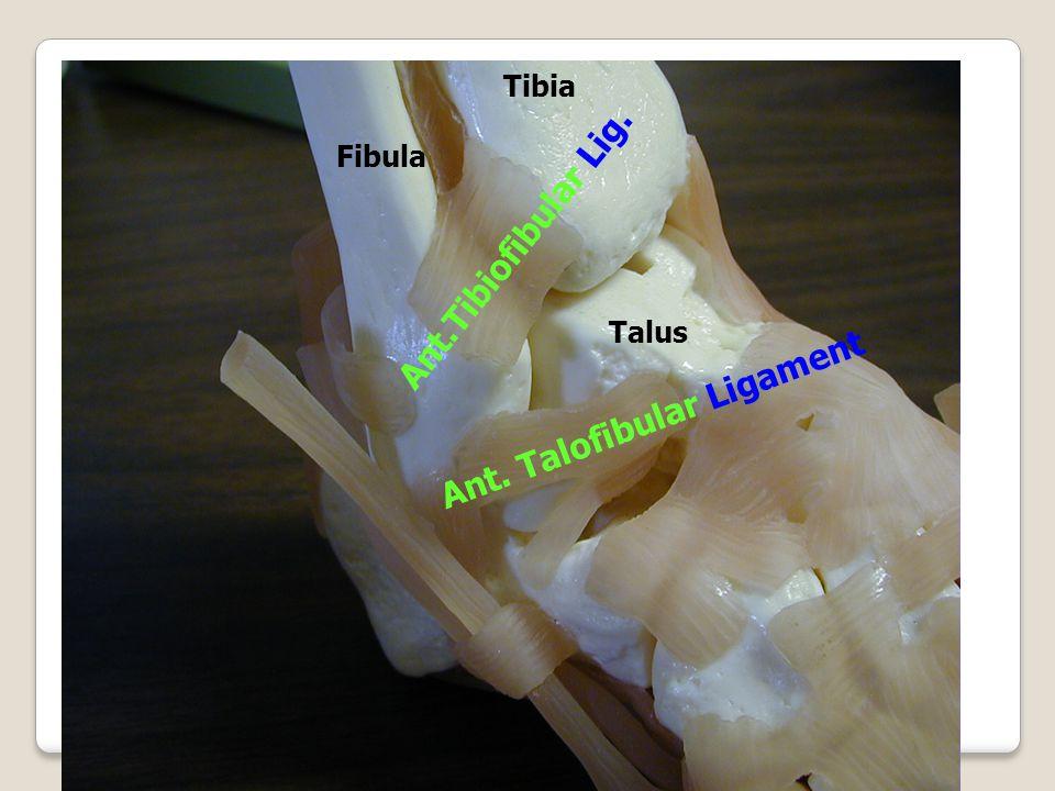 Talus Fibula Tibia Ant. Talofibular Ligament Ant.Tibiofibular Lig.
