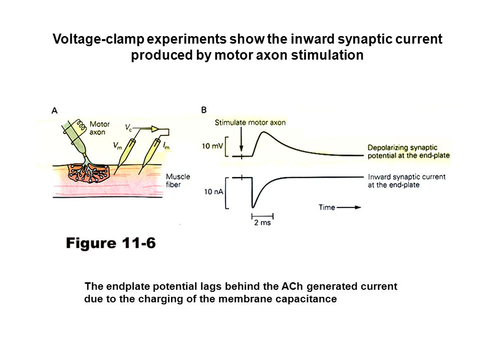 Voltage-clamp experiments show the inward synaptic current produced by motor axon stimulation The endplate potential lags behind the ACh generated current due to the charging of the membrane capacitance
