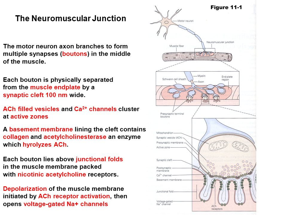 The Neuromuscular Junction The motor neuron axon branches to form multiple synapses (boutons) in the middle of the muscle. Each bouton is physically s