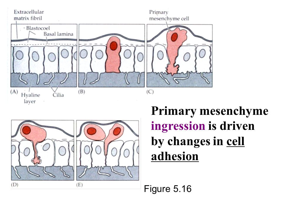 Primary mesenchyme ingression is driven by changes in cell adhesion Figure 5.16