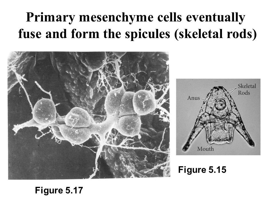 Primary mesenchyme cells eventually fuse and form the spicules (skeletal rods) Figure 5.17 Figure 5.15