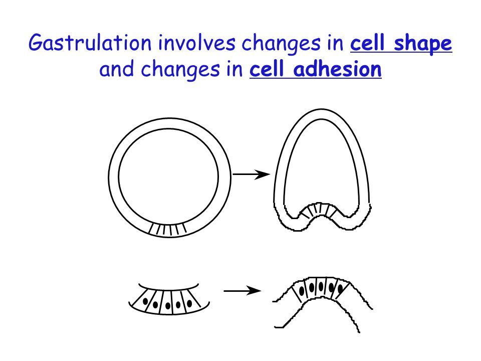 Gastrulation involves changes in cell shape and changes in cell adhesion