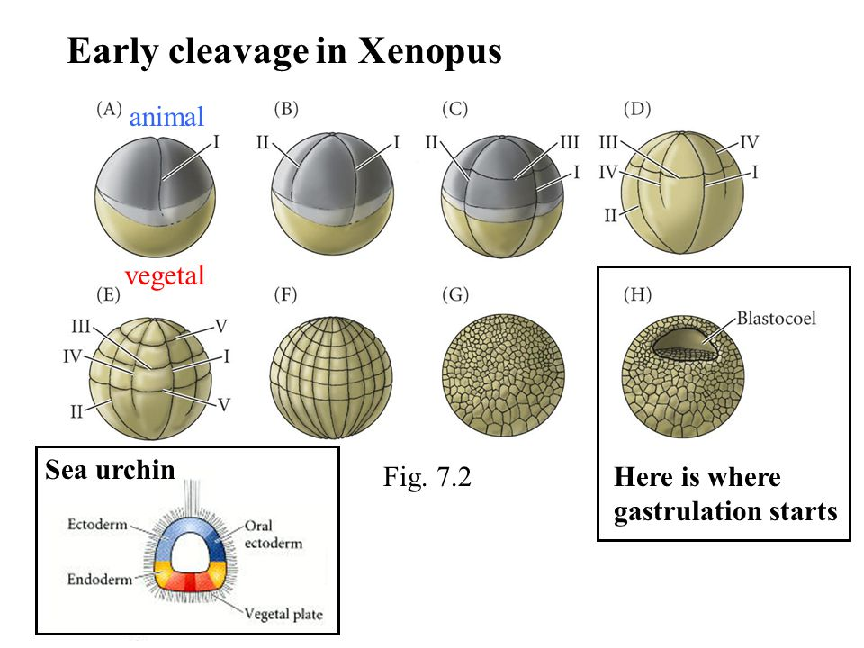 animal vegetal Early cleavage in Xenopus Here is where gastrulation starts Sea urchin Fig. 7.2