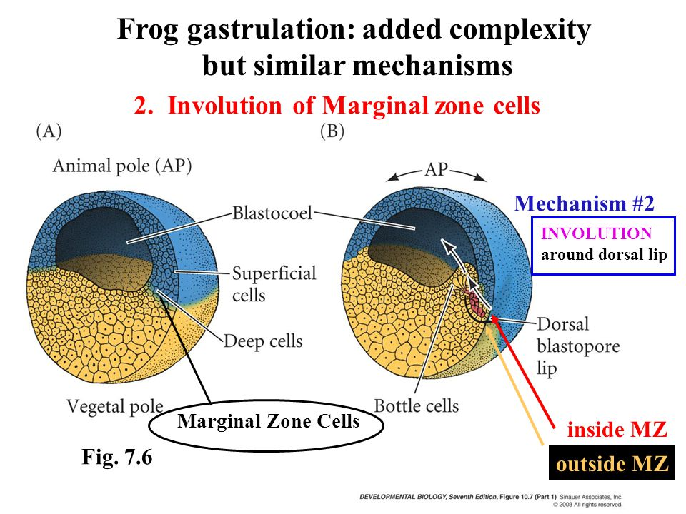 INVOLUTION around dorsal lip Mechanism #2 Marginal Zone Cells Frog gastrulation: added complexity but similar mechanisms Fig.