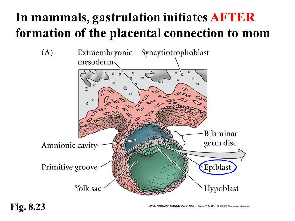 In mammals, gastrulation initiates AFTER formation of the placental connection to mom Fig. 8.23