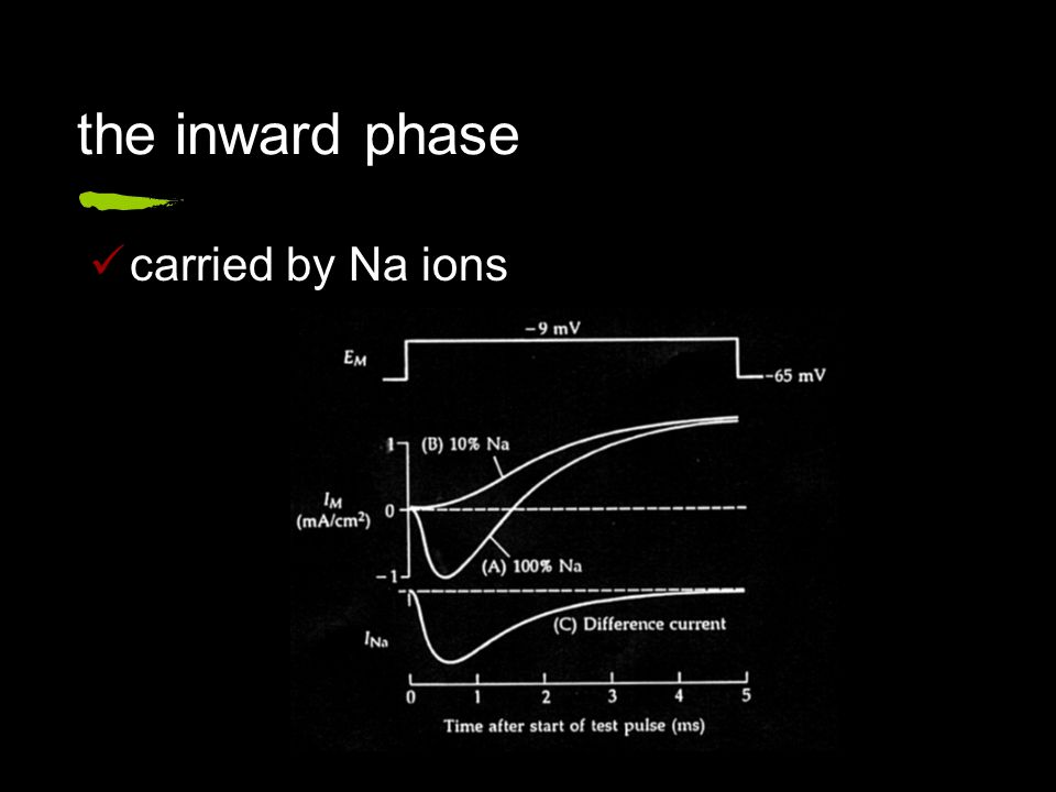 the inward phase carried by Na ions