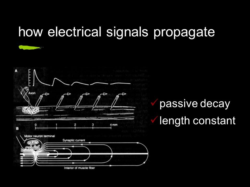 how electrical signals propagate passive decay length constant