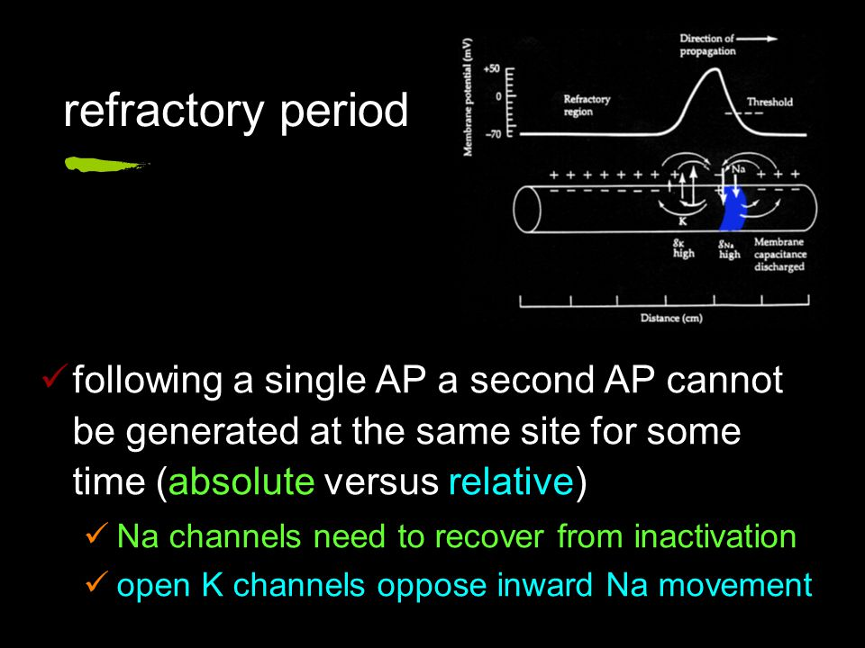 following a single AP a second AP cannot be generated at the same site for some time (absolute versus relative) Na channels need to recover from inactivation open K channels oppose inward Na movement refractory period