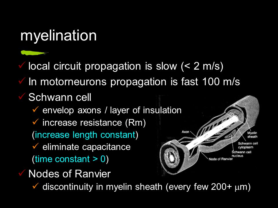local circuit propagation is slow (< 2 m/s) In motorneurons propagation is fast 100 m/s Schwann cell envelop axons / layer of insulation increase resistance (Rm) (increase length constant) eliminate capacitance (time constant > 0) Nodes of Ranvier discontinuity in myelin sheath (every few 200+  m) myelination