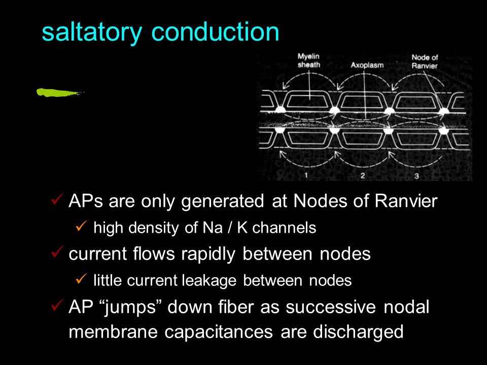 saltatory conduction APs are only generated at Nodes of Ranvier high density of Na / K channels current flows rapidly between nodes little current leakage between nodes AP jumps down fiber as successive nodal membrane capacitances are discharged