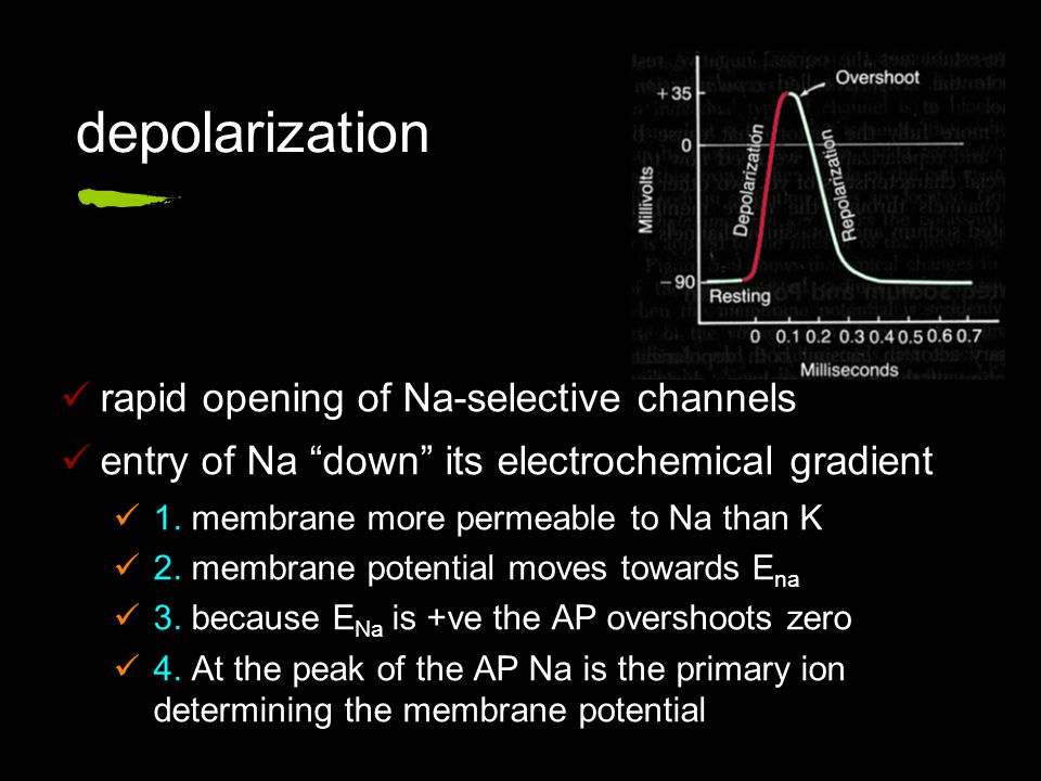 depolarization rapid opening of Na-selective channels entry of Na down its electrochemical gradient 1.