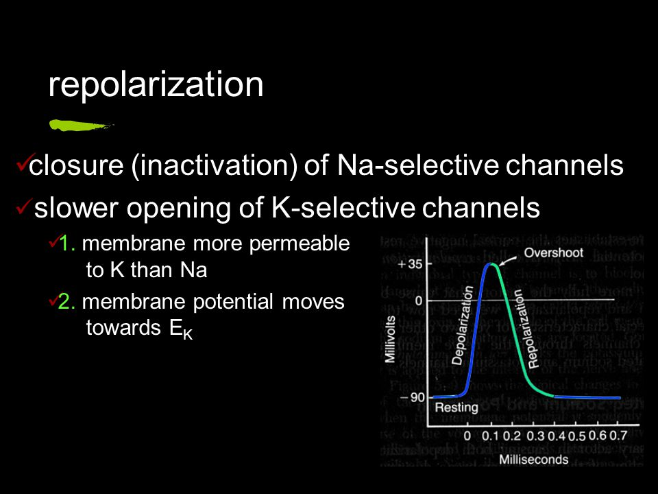 repolarization closure (inactivation) of Na-selective channels slower opening of K-selective channels 1.