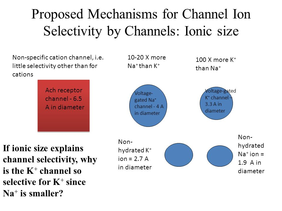 Proposed Mechanisms for Channel Ion Selectivity by Channels: Ionic size Ach receptor channel - 6.5 A in diameter Voltage- gated Na + channel - 4 A in