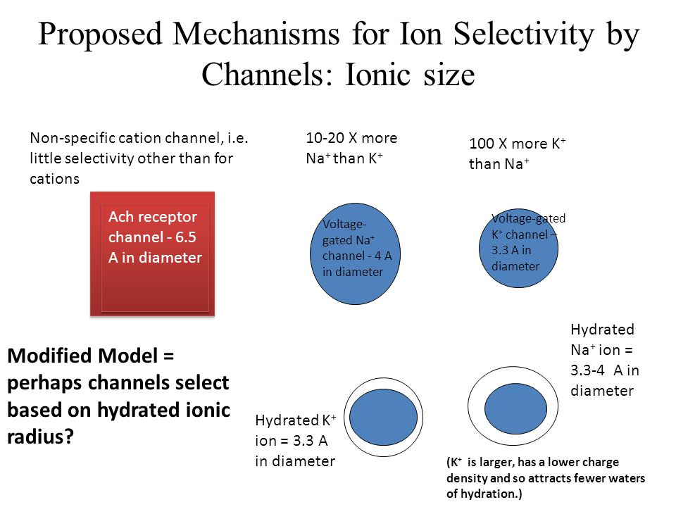 Proposed Mechanisms for Ion Selectivity by Channels: Ionic size Ach receptor channel - 6.5 A in diameter Voltage- gated Na + channel - 4 A in diameter
