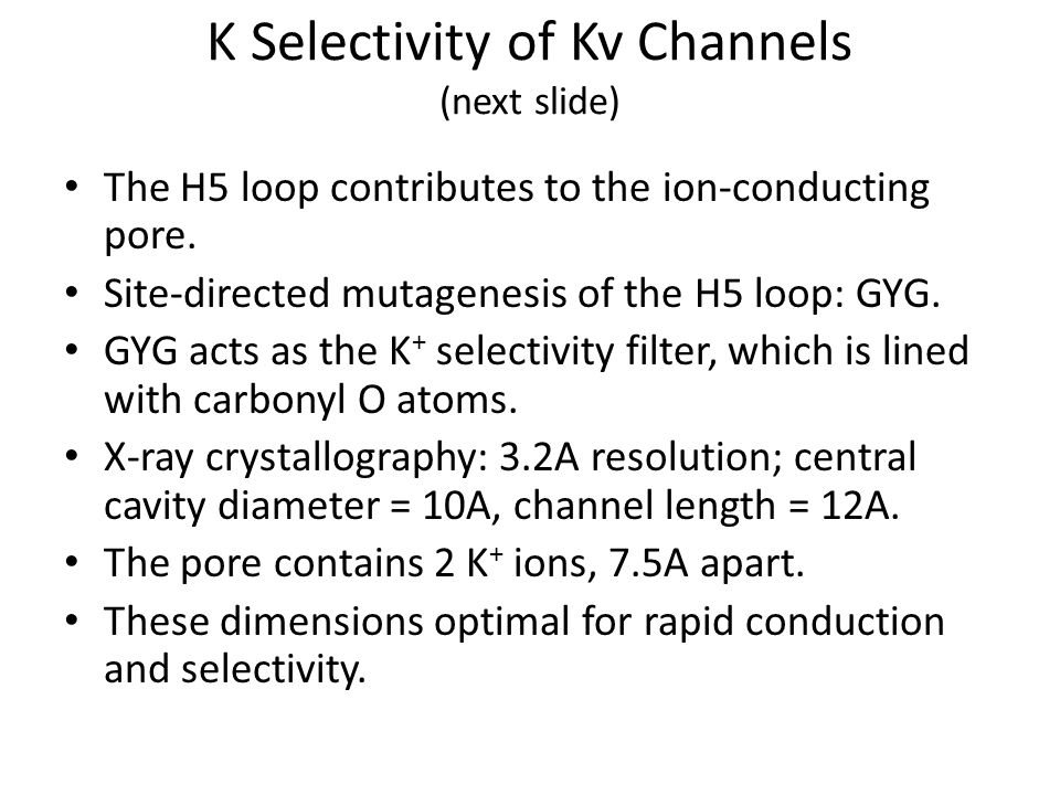K Selectivity of Kv Channels (next slide) The H5 loop contributes to the ion-conducting pore. Site-directed mutagenesis of the H5 loop: GYG. GYG acts