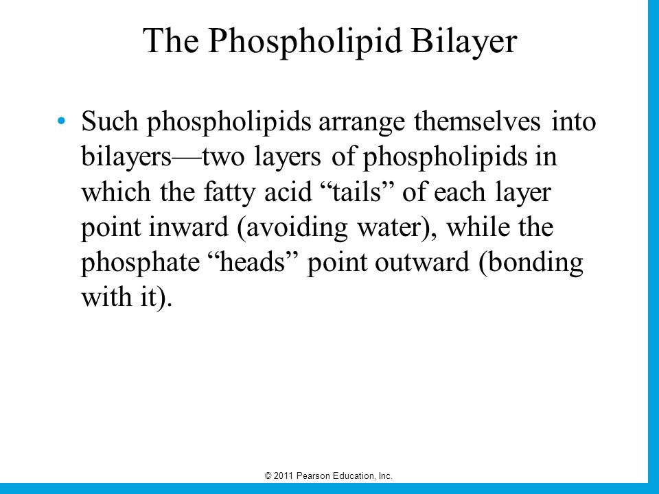 © 2011 Pearson Education, Inc. The Phospholipid Bilayer Such phospholipids arrange themselves into bilayers—two layers of phospholipids in which the f