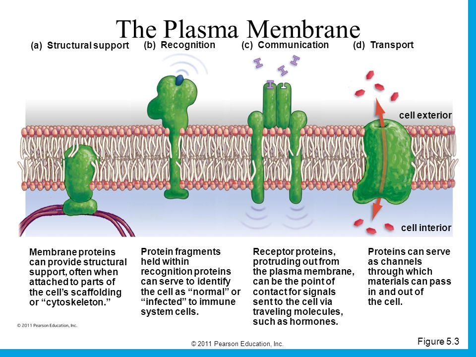 © 2011 Pearson Education, Inc. Figure 5.3 The Plasma Membrane (a) Structural support (b) Recognition(c) Communication (d) Transport cell exterior cell