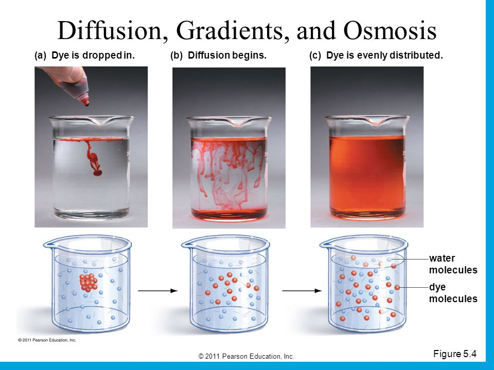 © 2011 Pearson Education, Inc.Figure 5.4 Diffusion, Gradients, and Osmosis (a) Dye is dropped in.