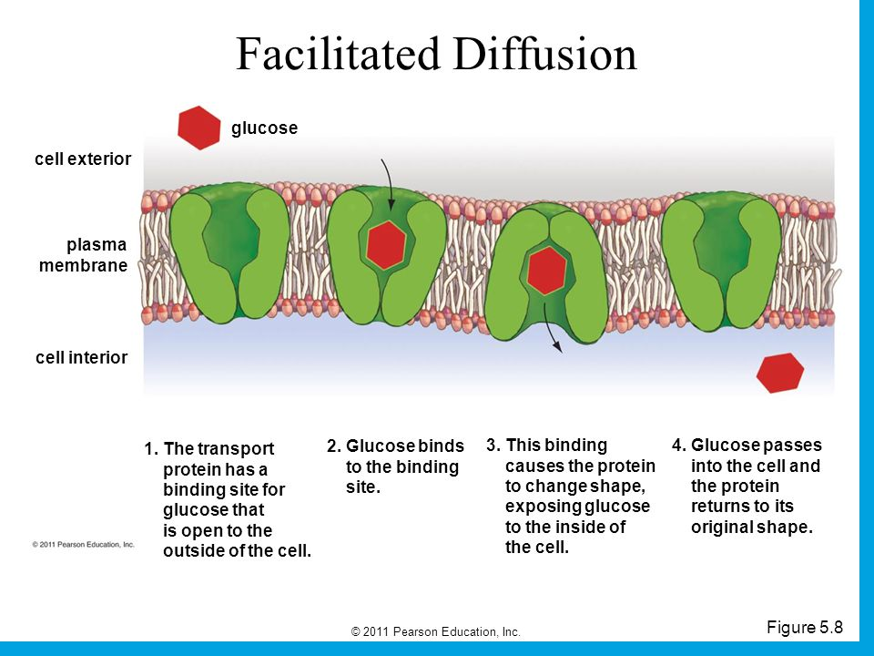 © 2011 Pearson Education, Inc. Figure 5.8 Facilitated Diffusion cell exterior plasma membrane cell interior glucose 1. The transport protein has a bin