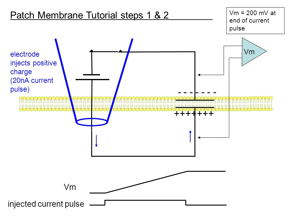 +++++++ - - - - - - - electrode injects positive charge (20nA current pulse) Vm = 200 mV at end of current pulse Patch Membrane Tutorial steps 1 & 2 Vm injected current pulse Vm