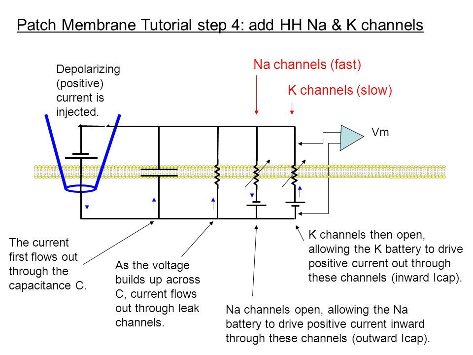 Patch Membrane Tutorial step 4: add HH Na & K channels Vm Na channels (fast) K channels (slow) Depolarizing (positive) current is injected. The curren