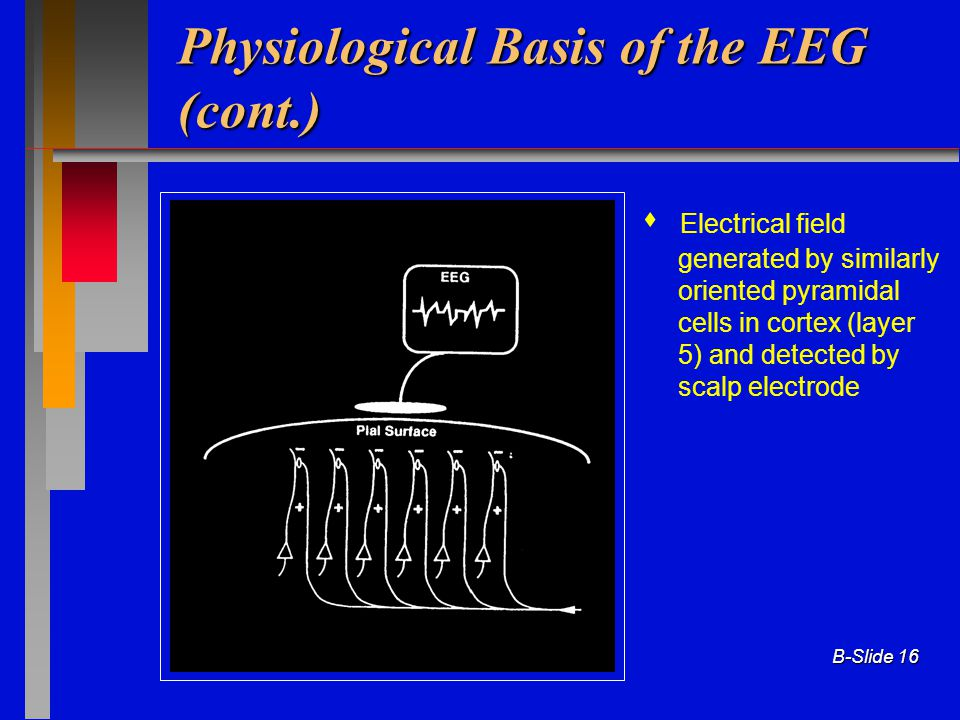 B-Slide 16 Physiological Basis of the EEG (cont.)  Electrical field generated by similarly oriented pyramidal cells in cortex (layer 5) and detected