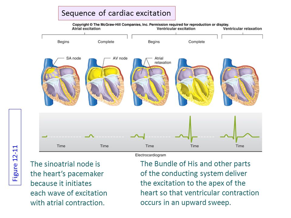 The sinoatrial node is the heart's pacemaker because it initiates each wave of excitation with atrial contraction.
