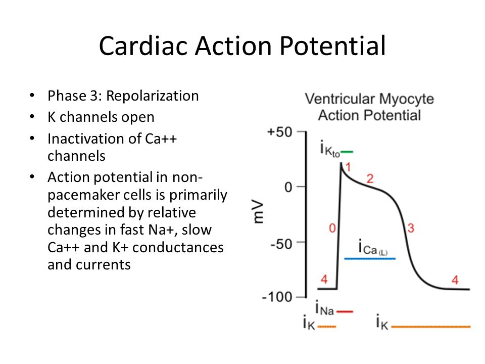 Cardiac Action Potential Phase 3: Repolarization K channels open Inactivation of Ca++ channels Action potential in non- pacemaker cells is primarily determined by relative changes in fast Na+, slow Ca++ and K+ conductances and currents