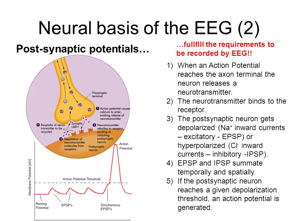 Neural basis of the EEG (2) Post-synaptic potentials… 1)When an Action Potential reaches the axon terminal the neuron releases a neurotransmitter.