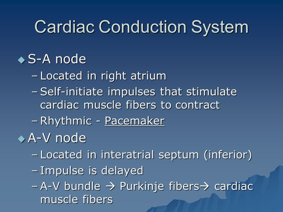 Cardiac Conduction System  S-A node –Located in right atrium –Self-initiate impulses that stimulate cardiac muscle fibers to contract –Rhythmic - Pacemaker  A-V node –Located in interatrial septum (inferior) –Impulse is delayed –A-V bundle  Purkinje fibers  cardiac muscle fibers