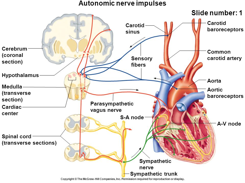 Sympathetic nerve Sympathetic trunk Autonomic nerve impulses Slide number: 1 Copyright © The McGraw-Hill Companies, Inc.