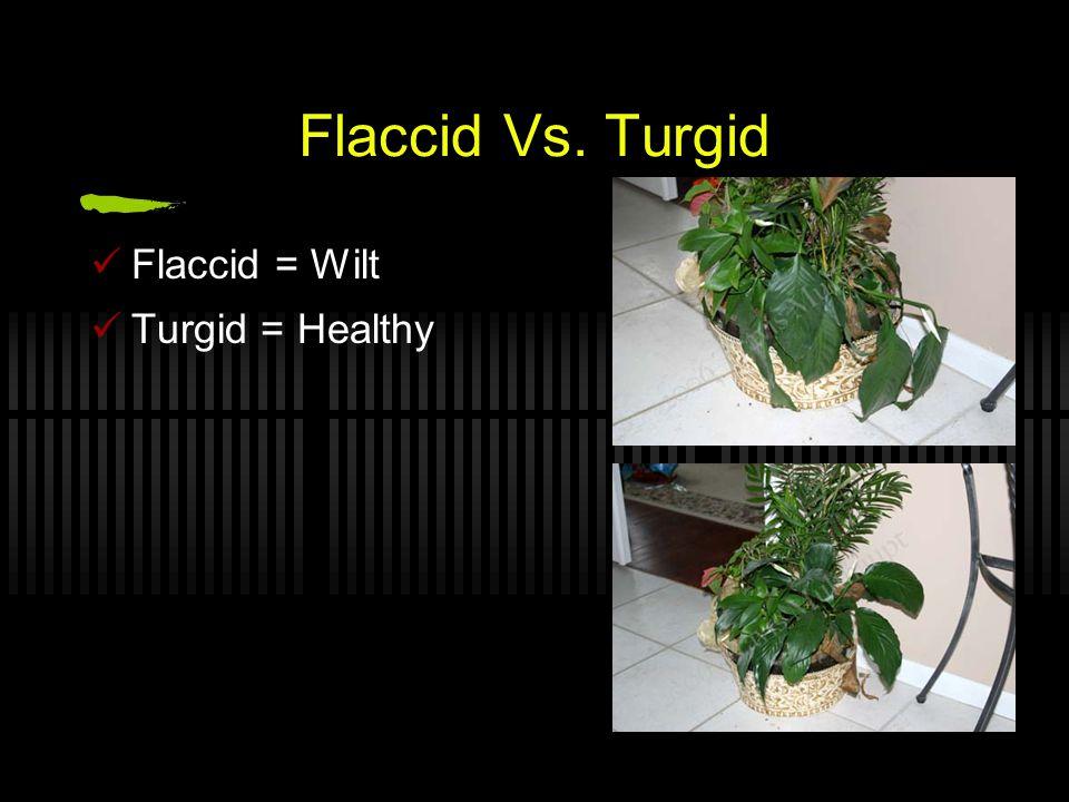Flaccid Vs. Turgid Flaccid = Wilt Turgid = Healthy